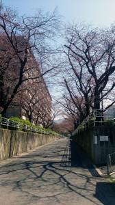 3-27桜の木-2a