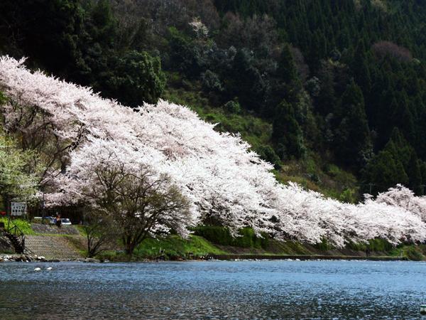 4-12海津大崎桜.a