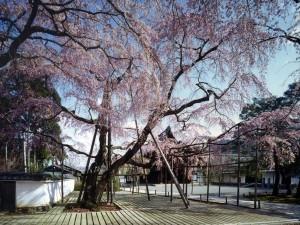 醍醐寺桜-1